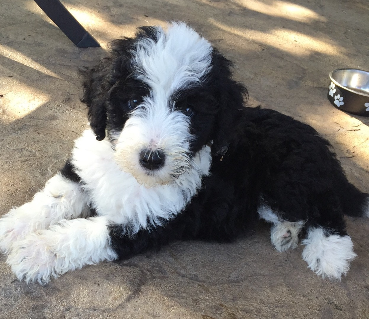 Doodle Puppies For Sale Ohio Hypo Allergenic Non Shedding Best