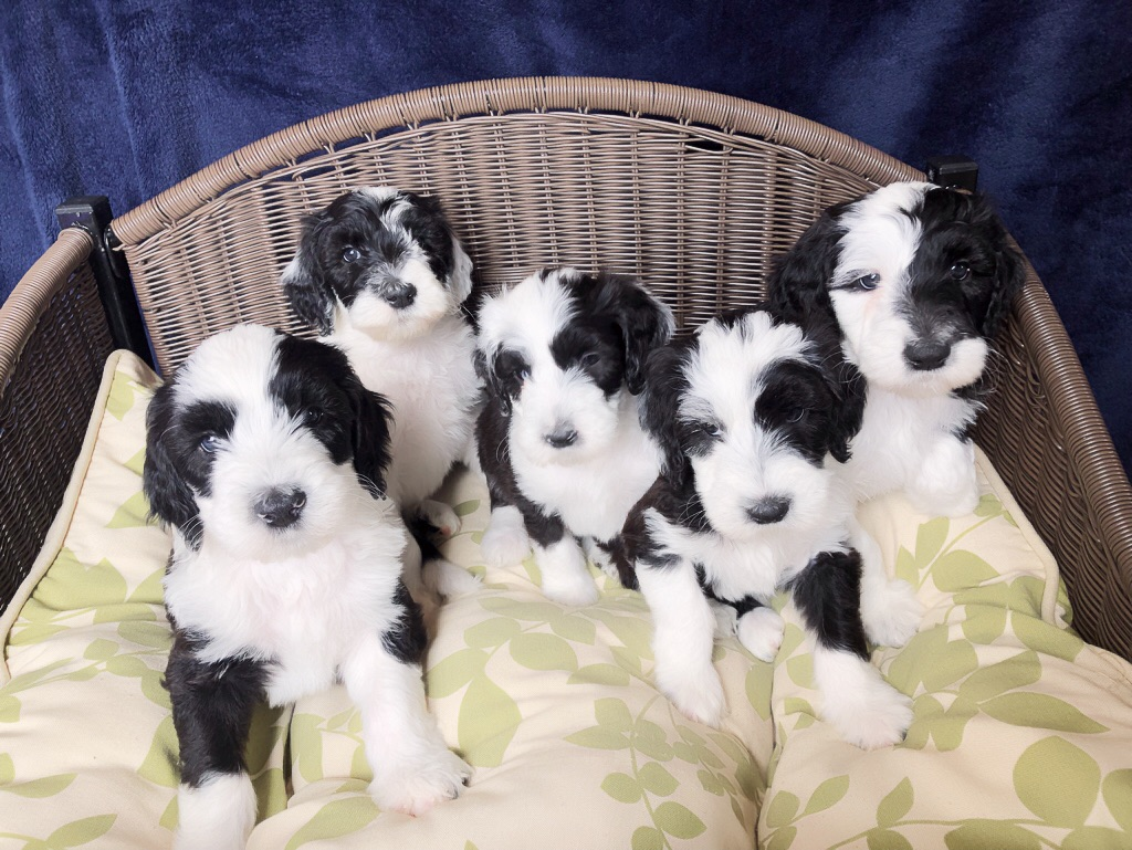 Doodle Puppies For Sale Ohio Hypo Allergenic Non Shedding